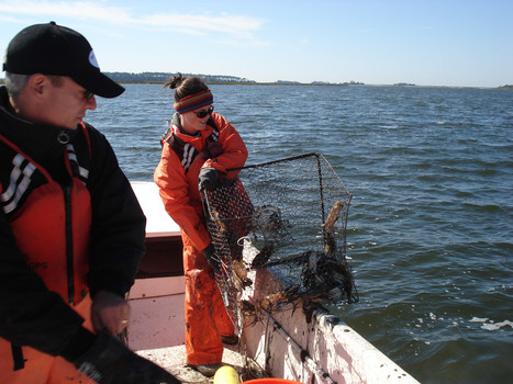 VIMS professor links sea star die-off to blue crab, lobster diseases | Food issues | Scoop.it