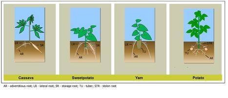 Frontiers | Root System Architecture and Abiotic Stress Tolerance: Current Knowledge in Root and Tuber Crops | Crop Science and Horticulture | Plant roots and rhizosphere | Scoop.it