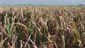 As bugs become resistant to Bt maize in South Africa, new practices needed to delay resistence | MAIZE | Scoop.it