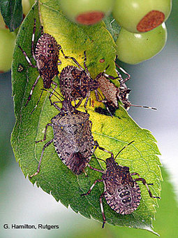 HGIC - Invasive Species: Brown Marmorated Stink Bug | Good Gardening News and Advice | Scoop.it