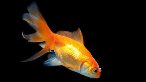 Les poissons rouges différencient la musique de Bach ou Stravinsky   Les nouvelles de Shaneelah   Scoop.it