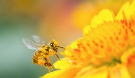 Honeybees: Population Declines Continue, Is The American Food Supply In Jeopardy? | Bees | Scoop.it