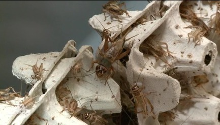 L'aile ou la cuisse: des insectes dans nos assiettes   Inter Nettoyage Service Bretagne   Scoop.it