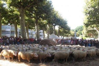 Sarlat : 150 brebis s'invitent en centre-ville   Agriculture en Dordogne   Scoop.it