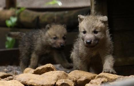 Lorraine: Six louveteaux de l'Arctique naissent au zoo d'Amnéville | Biodiversité | Scoop.it