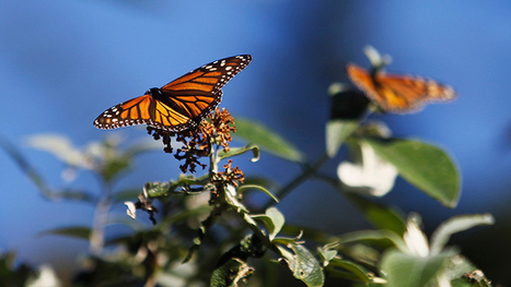 Monsanto's Roundup system threatens extinction of monarch butterflies - report | GarryRogers NatCon News | Scoop.it