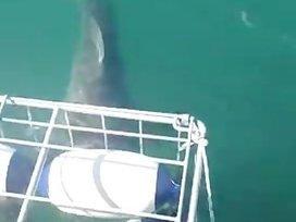 Great White Shark Attacks Shark Diving Cage | Shark Attacks | Scoop.it