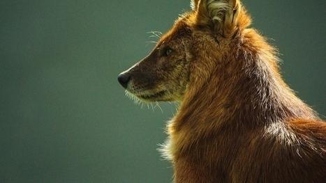 Le déclin des proies menace les grands carnivores | Chronique d'un pays où il ne se passe rien... ou presque ! | Scoop.it