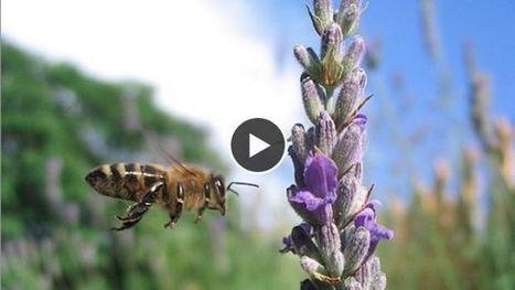 Les abeilles posséderaient un système de navigation intégré pour voyager | EntomoNews | Scoop.it