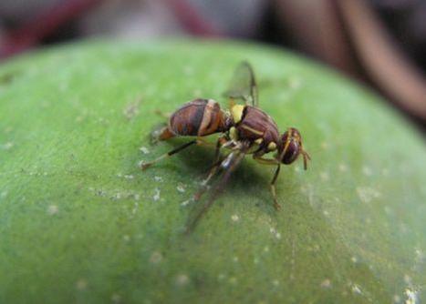 En Afrique de l'Ouest, les mouches des fruits ont trouvé leur maître | EntomoNews | Scoop.it