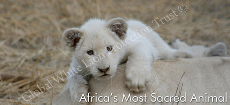 10 Facts About White Lions | HELPING ANIMALS IN DANGER by Oumnia | Scoop.it