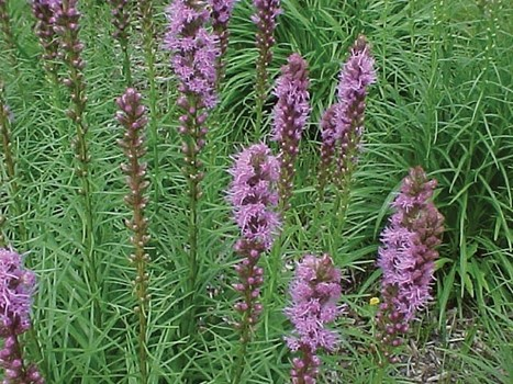 Bay Journal - Article: Be a good gardener – replace invasive plants with natives | Suburban Land Trusts | Scoop.it