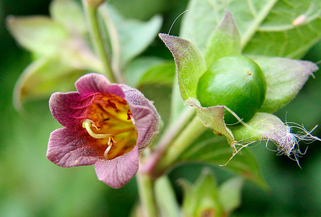 Australia's most poisonous plants | Australian Plants on the Web | Scoop.it