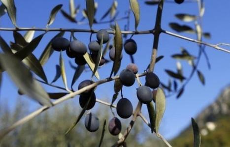 Appel à la vigilance contre la bactérie Xylella Fastidiosa en Corse | Environnement et développement durable, mode de vie soutenable | Scoop.it