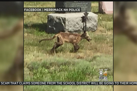 Chupacabra? Coyote? NH police post photo of zombie-looking animal | Cryptic Content: Cryptozoology | Scoop.it