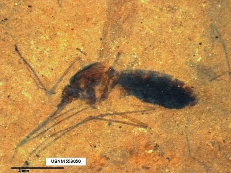 A Fossilized Blood-Engorged Mosquito Is Found For the First Time Ever | 21st Century Innovative Technologies and Developments as also discoveries | Scoop.it