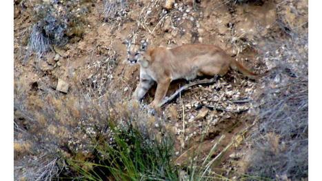 L.A. seeks to protect 'wildlife corridor' in Santa Monica Mountains   Coastal Restoration   Scoop.it