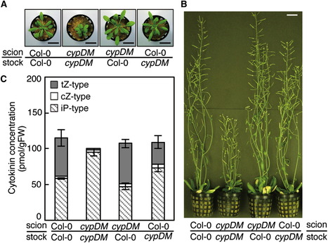 Side-Chain Modification of Cytokinins Controls Shoot Growth in Arabidopsis | Sustainable Resource Science | Scoop.it