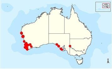 Bettongia penicillata ogilbyi — Woylie | Australian Wildlife - The Woylie | Scoop.it