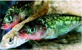 Stickleback genomes shining bright light on evolution | Amazing Science | Scoop.it