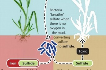 Iron Range sulfide mining can be done without harming wild rice or raising mercury levels | Sulfide mining | Scoop.it