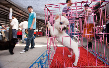 China dog meat festival targeted by activists  - Telegraph | Nature Animals humankind | Scoop.it