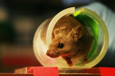 Human Language Gene Helps Mice Learn Tasks | IFLScience | Useful and interesting Psychology Links | Scoop.it
