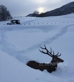 Ain : un jeune cerf sauvé par un chasse-neige | Chronique d'un pays où il ne se passe rien... ou presque ! | Scoop.it