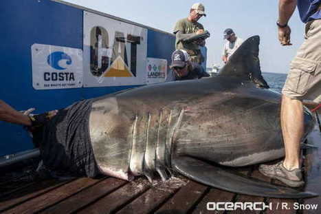 Great white shark tracked in Gulf could be headed for Mississippi - SunHerald.com | Shark conservation | Scoop.it