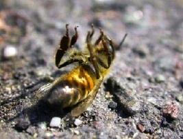 Des avancées pour les abeilles, mais des luttes à venir contre l'agrochimie- Le Nouvel Observateur | Abeilles, intoxications et informations | Scoop.it