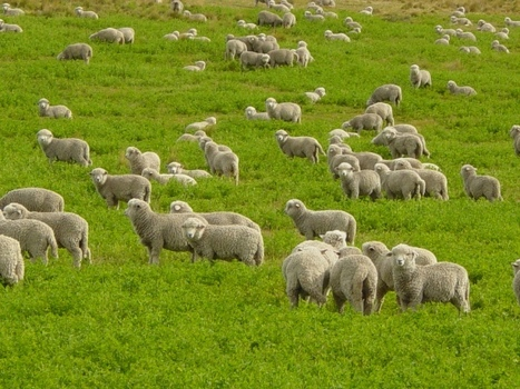 What can sheep teach us about innovation? | The Jazz of Innovation | Scoop.it