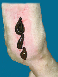 Fran Jurga`s Hoof Blog: News from Hoofcare + Lameness Journal: Medicinal Leeches: The Much-Maligned Traditional Healing Aid is Making a Comeback for Equine Lameness Therapy   Equine Health Care   Scoop.it