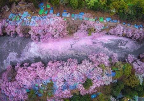 Fallen #Cherry #Blossom #Petals Fill a #Lake in #Japan forming Beautiful Scenes. #art #pink #nature | Luby Art | Scoop.it