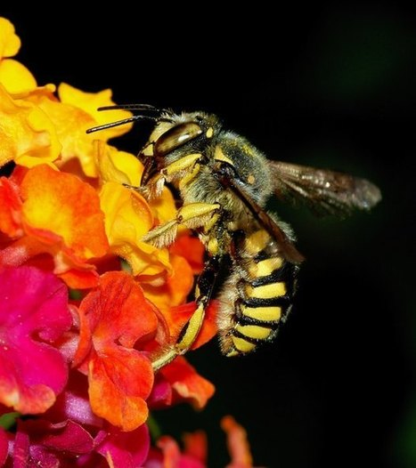 Photographies Abeilles : images et photos d'abeille | MELVITA | Scoop.it