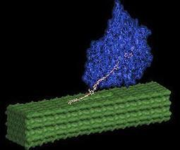 Novel cellulose structure requires fewer enzymes to process biomass to fuel | Sustain Our Earth | Scoop.it