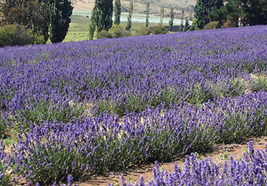 Field day for lavender | agribusiness | Scoop.it