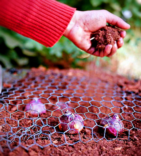 How to protect your bulbs from squirrels   Backyard Gardening   Scoop.it