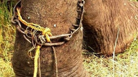 Save sacred elephants from being tortured and abused in India | ~ADVOCATING FOR ALL ANIMALS~ | Scoop.it
