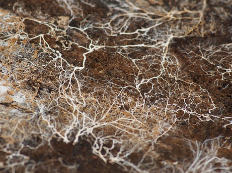 Les champignons, agents de dépollution des sols   Chimie verte et agroécologie   Scoop.it