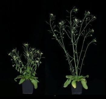 Las variedades enanas en la planta Arabidopsis | Mejora genetica | Scoop.it