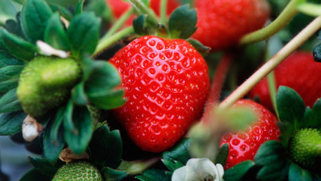Plant of the week: Strawberries - The Daily Telegraph | Botany, Applied Botany | Scoop.it