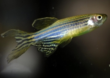 Fish cells hope for motor neurone disease patients - Scotsman | Motor Neurone Disease | Scoop.it
