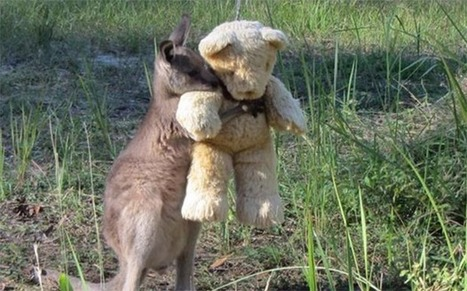 Orphaned Wallaby Hugging His Toy Bear Breaks Hearts Across The World | this curious life | Scoop.it