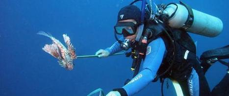 War on lionfish shows first promise of success | News & Research Communications | Oregon State University | All about water, the oceans, environmental issues | Scoop.it