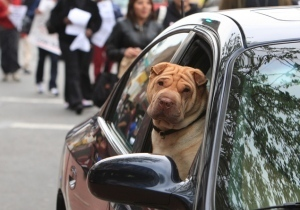 New Jersey says drivers should buckle up their pets, or face a fine | Natural Fears | Scoop.it
