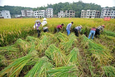 News: Longping to stop selling super-hybrid rice variety (2015) | Plants and Microbes | Scoop.it