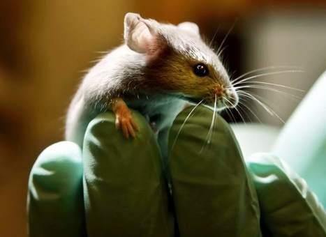 Un grupo de científicos logra revertir el envejecimiento en ratones de laboratorio - 20minutos.es | tquark | Scoop.it