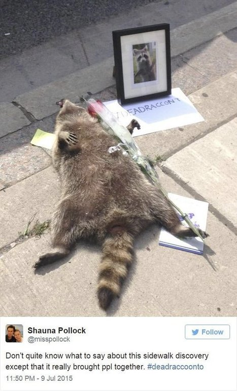 #DeadRaccoonTO o la historia del mapache muerto de Toronto | Semantic web, contents, cloud and Social Media | Scoop.it