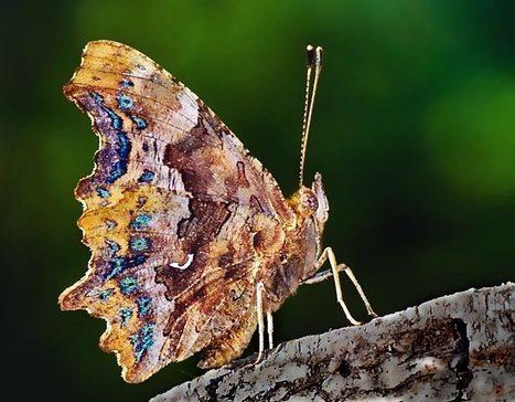 Schmetterlinge, der C-Falter | kostenlose-Bilder | Scoop.it