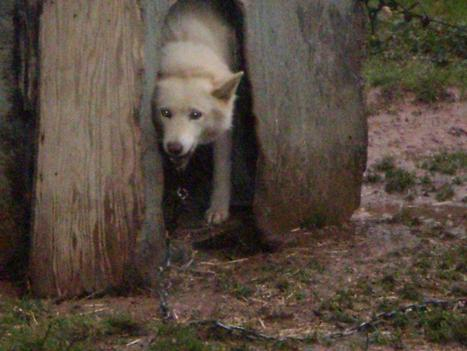Animal Advocates Society of BC |The Rescue of Keesha | Nature Animals humankind | Scoop.it